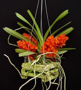 plante aeriene